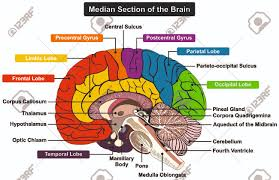 Median Section Of Human Brain Anatomical Structure Diagram Infographic