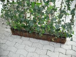 Efeu Als Sichtschutz Pflanzen Finden Und Speichern Sie Ideen Zu