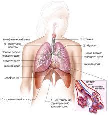 Инкубационный период туберкулеза у взрослых и детей Структура органов дыхания