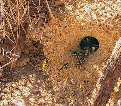 ground dwelling bees information about bees wasps hornets honey bees yellowjackets