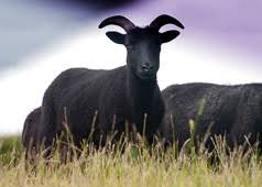 Hebridean <b>Sheep</b> - The Hebridean <b>Sheep</b> Society