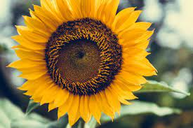 12 Super Pretty Sunflower iPhone ...