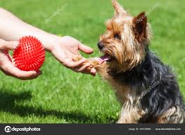 yorkshire terrier waiting toy dog gives paw man stock photo