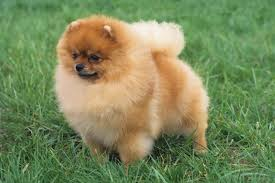 Pomeranian Weight Chart Pomeranian Breed Information