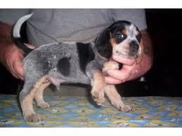 akc open marked blue tick beagle pups