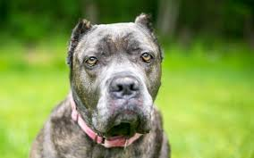 Pet Owners Told To Avoid Buying Dogs With Cropped Ears As