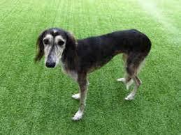 saluki dog. saluki dog for adoption near 27603, raleigh, nc, usa