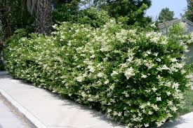Gorgeous Large Evergreen Shrubs For Privacy Gorgeous Retail And Landscape  Customers Is For the Perfect