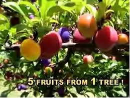 Use Unripe Mangoes To Make Delicious ChutneyMedley Fruit Tree