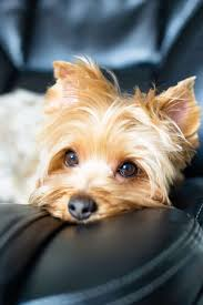Small in size but big in personality, the yorkshire terrier makes a feisty but loving companion. This Is Why Golden Yorkies Are Rare Family Pet Planet