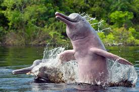 amazon river animals. Fine Amazon Amazon River Dolphins In Animals