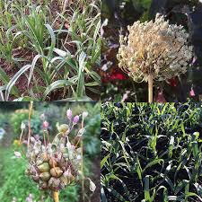 babington and poireau perpétuel perennial leek bulbils in stock now two wonderful additions to your perennial vegetable garden easy to grow and delicious