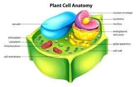 Plant Cells Vs Animal Cells Venn Diagram Venn Diagram Between Plant And Animal Cells Michaelhannan Co