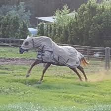 this is my horse after being in a paddock with 50 head of cattle with ticks we could not spray him with tick spray as he was very sensitive and did not