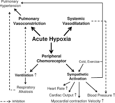 Effect Of Altitude On The Heart And The Lungs Circulation