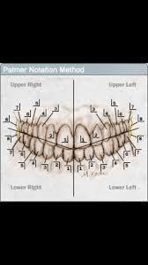 Palmer Teeth Numbering System Ortho Dental Assistant