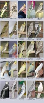 Cockatiel Chart We Have Lutino Pearl Would Love A Whiteface Pied To Keep
