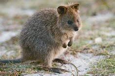 Small Picture Quokka Setonix brachyurus A kangaroo with short legs