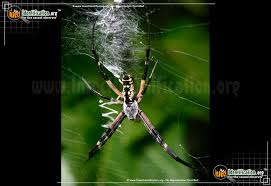 full sized image 15 of the black and yellow garden spider