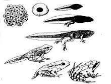 7 Beste Afbeeldingen Van Kikker Kikkervisjes Kikkerdril