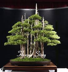 office bonsai. Godofgifts-com A 20 Juniper Bonsai Tree Seeds Potted Flowers Office Purify The Air