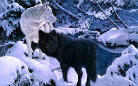 Wolf Wallpapers For Iphone White And Black Wolf 129976