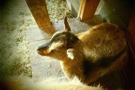 Goat Lice Why You Should Not Go To Goat Lice Treatment Goat Lice