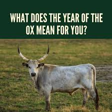 It is said that ox ranks the second among the chinese zodiacs because it helped the rat but was later tricked by it. What Does The Year Of The Ox Mean For You Holidappy Celebrations