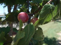 Calvin Finch Itu0027s Time To Assess Your Fruit Trees  San Antonio Fruit Trees For Central Texas