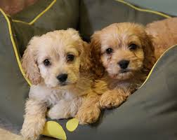 cute puppies for sale. Interesting Sale Choosing The Right Puppy For You And Your Family U2013 10 Things To Consider  Adorable Cockapoo Puppies For Sale  In Cute