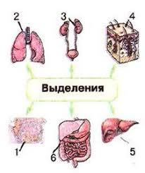 Общая характеристика органов выделения почки лёгкие потовые и  Органы выделения 1 слюнные железы 2 лёгкие 3 почки 4 кожа 5 печень 6 желудок кишечник