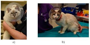 Animals Free Full Text The Cone Of Shame Welfare Implications Of Elizabethan Collar Use On Dogs And Cats As Reported By Their Owners Html