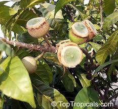 Gustavia Augusta Membrillo Paco Pacora Choco Sachamango Lotus Fruit Tree