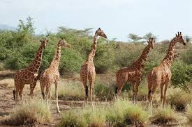 Image result for samburu game reserve