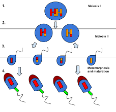 Spermiogenesis Wikipedia