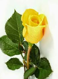 Image result for images of yellow rose