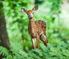 Deer How To Identity And Keep Deer Out Of Your Garden The