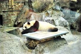 A Sleeping Giant Panda