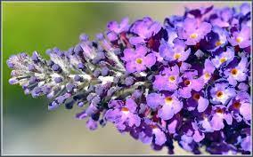 วอลเปเปอร์ : ดอกไม้, สีม่วง, พืชดอก, ฤดูใบไม้ผลิ, ปลูก, ครอบครัวม่วง,  ภาษาอังกฤษลาเวนเดอร์, ไวโอลิน 1680x1050 - - 905563 - วอลเปเปอร์ hd -  WallHere
