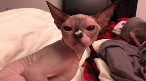 angry hairless cat. Exellent Angry Sphynx Cat Does Not Want Anyone To Interfere With Her In Angry Hairless U