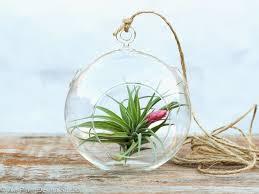 glass terrarium whole fabulous aeranthos simplicity air plant terrarium kit
