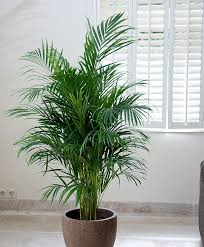 Areca Palm Tree for adding moisture in the air during dry winter months.  Great indoor