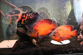 Oscar Fish Guide Care Size Lifespan Tankmates Breeding