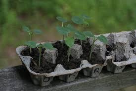 Companion Planting For Okra Insteading