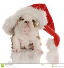 Christmas Bulldog Stock Photo - Image: 11906710