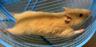 Image result for hamster running the wheel