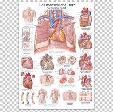 Human Skeleton Wall Chart Anatomy Human Heart Human Body The Human Skeleton Png