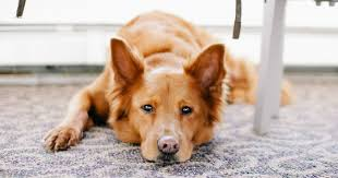 best rug for dog owners