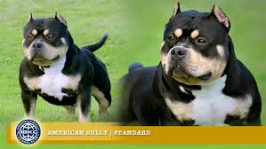 Pitbull Ear Crop Chart Standard The American Bully Registry