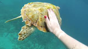 swimming sea turtles and exploring a shipwreck in reaching out to touch a turtle